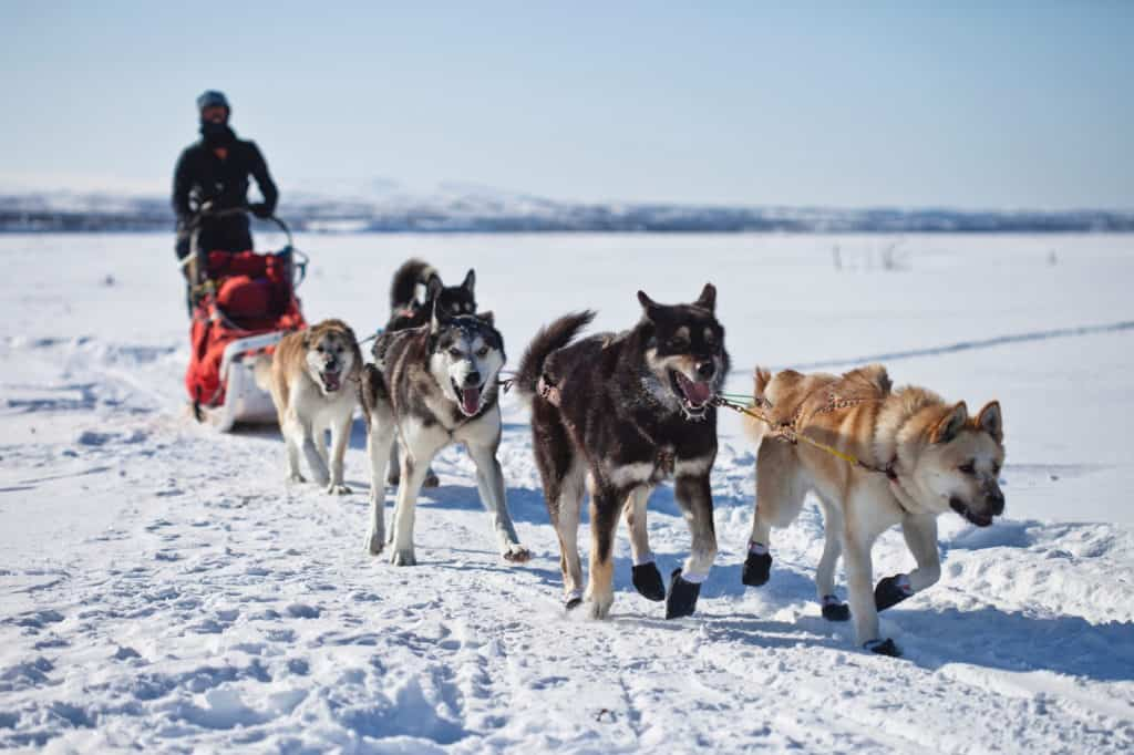 male musher is controlling the sled and 5 husky dogs are running in the snow, with smiles on their faces in Alta Norway in winter