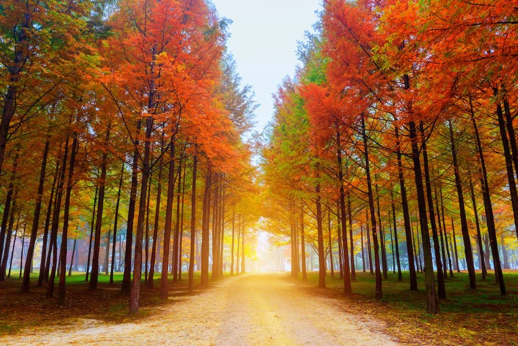a park in Korea with tall orange red green leaves on the floor and tall trees in autumn at Nami island in Korea one of the beautiful islands in asia