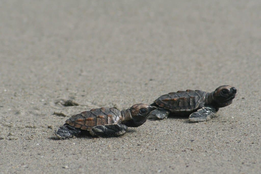 two baby hatchling turtles crawl on a beach into the sea in beautiful nicaragua