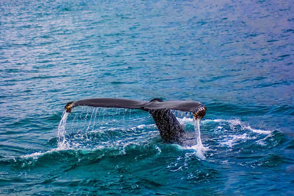 close up of whale tail in blue waters of madeira, as one of the best things to do in madeira is whale watching