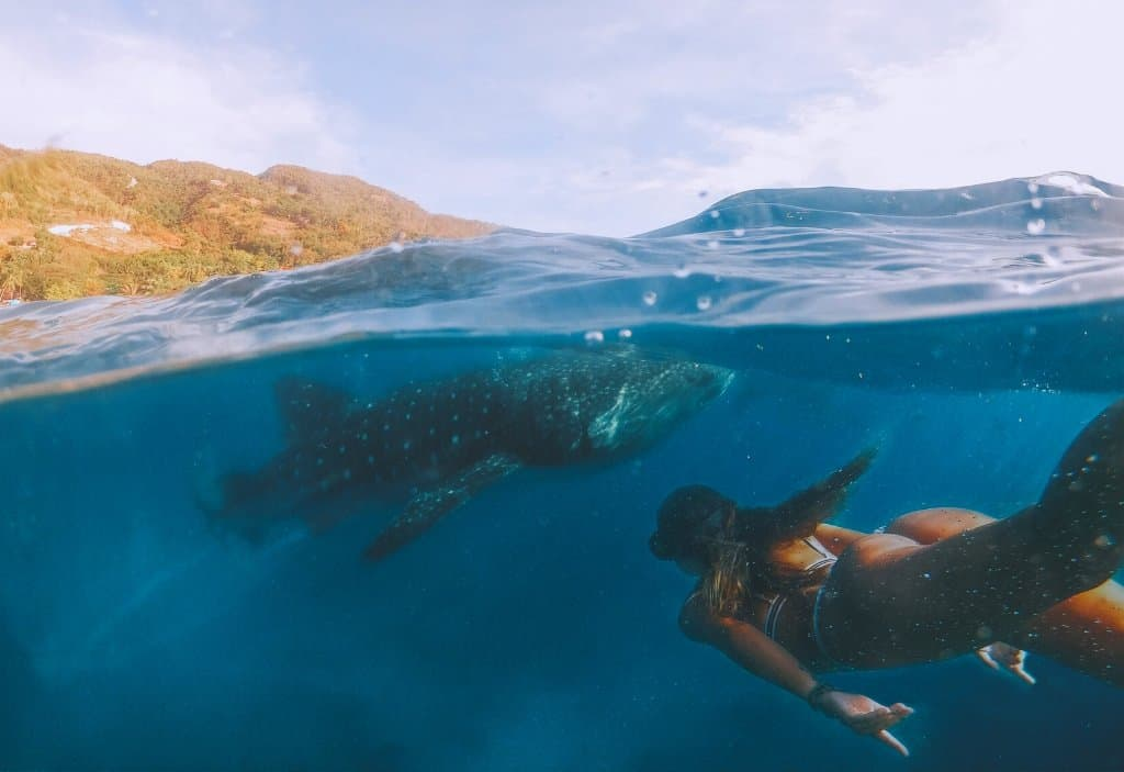 girl underwater snorkelling with a whale shark in donsol Bicol Philippines