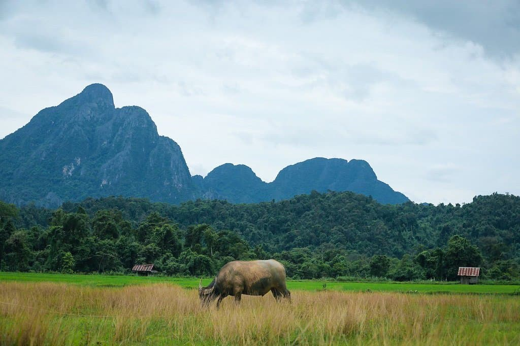 water buffalo in rice paddies with mountains in background in Vang Vieng Laos