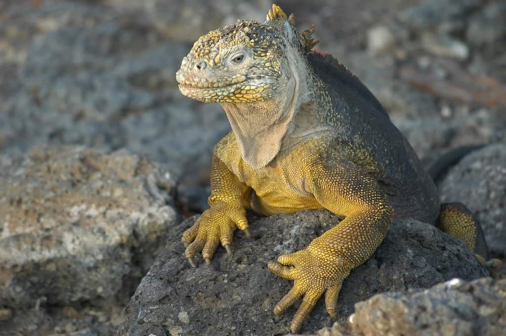 close up of yellow iguana in Galapagos Islands in Ecuador,one of the best places in South America to visit