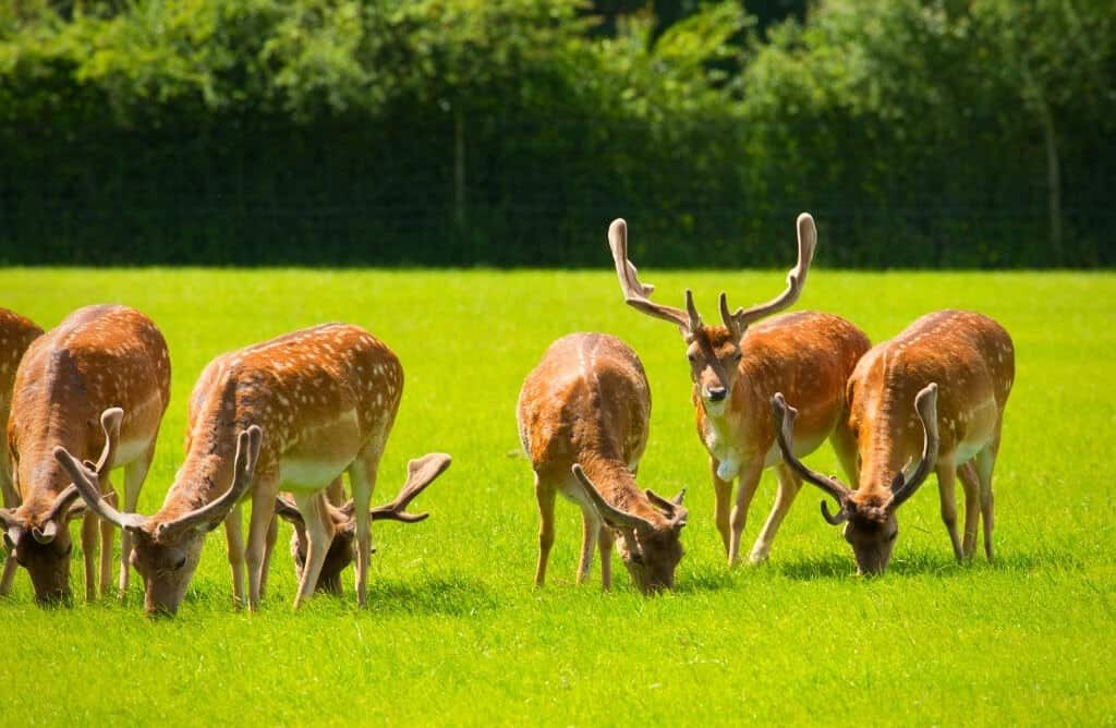 new forest national park red deers grazing uk