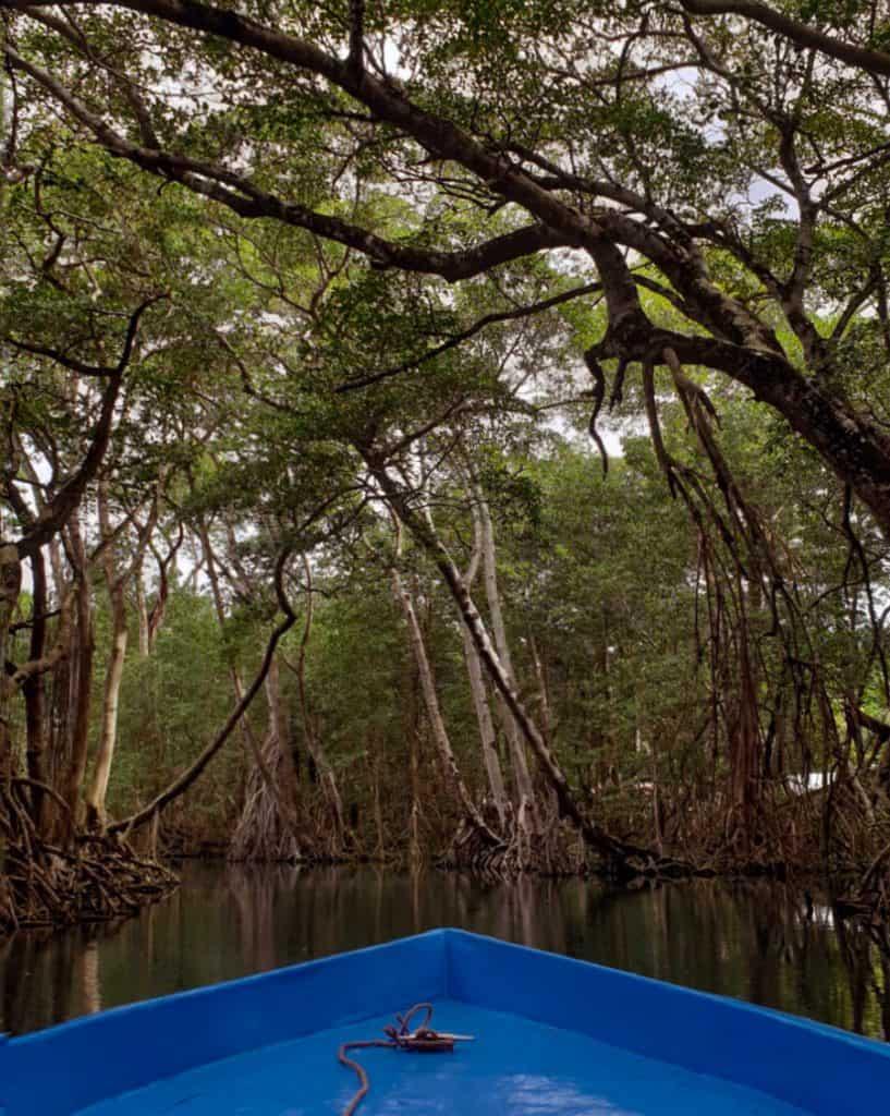blue boat floating through mangrove trees in laguna gri gri