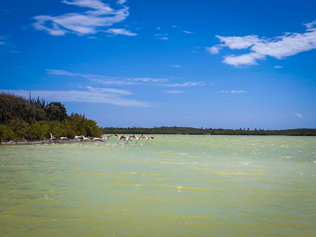 flamingos fly away over a green salty lagoon in laguna de oviedo in the Dominican republic